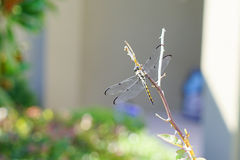 A beautiful dragonfly is resting Royalty Free Stock Photography