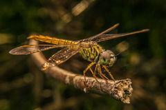 Beautiful dragonfly Stock Image