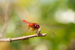 Beautiful dragonfly resting on a branch. In forest Royalty Free Stock Photo