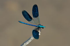 Beautiful dragonfly Stock Photography