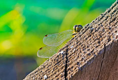 Beautiful dragonfly resting on a fence Stock Images