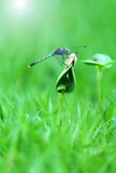 Beautiful dragonfly on the shoot Stock Photography