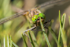 Beautiful dragonfly sits on pine needles close up Royalty Free Stock Image