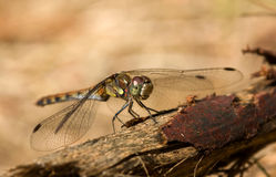 The beautiful dragonfly sits on a tree warming up Royalty Free Stock Image