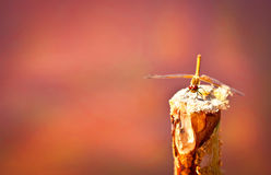 Beautiful dragonfly sitting on a stick. Dragonfly sitting on a stick on a pink background stock image
