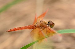 Beautiful dragonfly with soft background Stock Photography