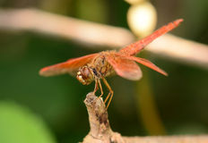 Beautiful dragonfly with soft background Royalty Free Stock Image