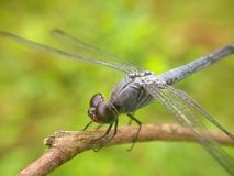 Dragonfly in a twigs Stock Images