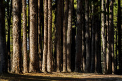 Beautiful dramatic light in pine forest with hard light and shad Royalty Free Stock Photo