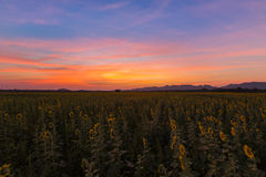 Beautiful dramatic sunset sky over full bloom sunflower field Royalty Free Stock Photos