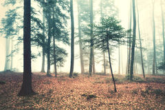 Beautiful dreamy foggy forest trees landscape Stock Photos