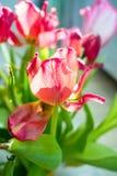 Beautiful dreamy tulips Stock Image
