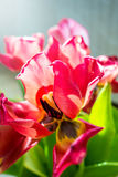 Beautiful dreamy tulips Royalty Free Stock Photo