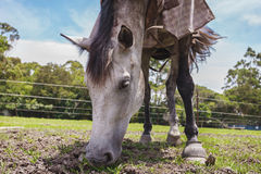A beautiful dressed horse eating pasture Royalty Free Stock Photos