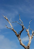 Beautiful dried branches  with blue sky Stock Photo