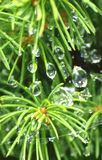 Beautiful drops. Pine tree needles with water drops Royalty Free Stock Image
