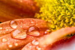 Beautiful drops on flower Stock Image