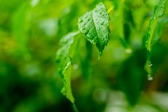 Beautiful drops of transparent rain water on green leaf macro. Many drops of dew in morning in sun. Beautiful leaf texture in stock image