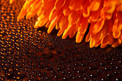 Beautiful drops of water and orange flower. Beautiful drops of water close to the orange flower Royalty Free Stock Photography