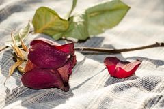 A beautiful and dry flower garden rose lies on a linen cloth in a box Royalty Free Stock Images