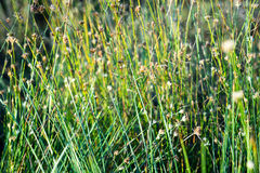 Beautiful dry grass and bent background Royalty Free Stock Photography