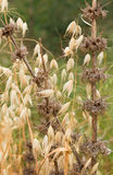 Beautiful dry plant Royalty Free Stock Photography