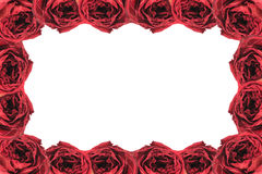 Beautiful dry red rose frame on white. Isolated Stock Image