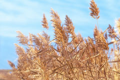 Beautiful dry reed (cane) Stock Image