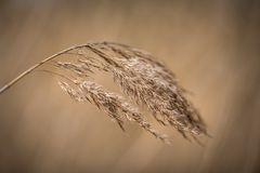 Dry reed before soft brown background stock image