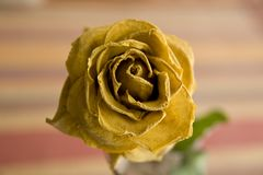 Beautiful dry rose Stock Photography