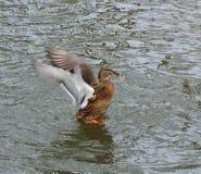 Beautiful duck bird in river, Lithuania stock image