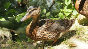 Beautiful duck close-up. For backgrounds Royalty Free Stock Photo