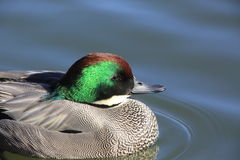 Beautiful duck Stock Images