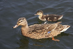 Beautiful duck with duckling. Swim in a pond Stock Photography