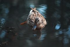 Beautiful duck floating in the water pond. Beautiful duck floating in the pond Stock Photography