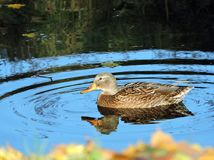 Beautiful duck floating on water, Lithuania Royalty Free Stock Photo