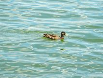 Beautiful duck floating on water, Lithuania Royalty Free Stock Photography