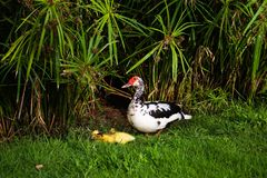 A beautiful duck and her tiny cute ducklings on green grass stock photos