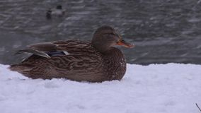 Beautiful duck lying on the snowy Bank stock video