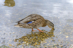 Beautiful Duck in a Pond Stock Photography