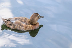 Beautiful duck in pond Stock Image