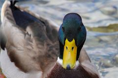 Isolated Duck portrait. Beautiful duck portrait in a cold autumn day stock photos