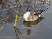 Beautiful duck reflected in the lake Royalty Free Stock Photos