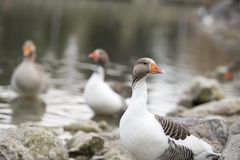 Beautiful a duck resting on the lake Royalty Free Stock Photography