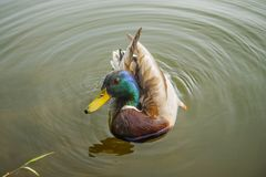 A beautiful duck sails on a river or a lake. Birds and animals in wildlife. stock photo