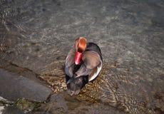 Beautiful duck sleep in the lake Leman Geneve. Red-crested pochard (Netta rufina) sleep in natural habitat Royalty Free Stock Image