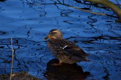 Beautiful duck standing in shallow blue water. Royalty Free Stock Images