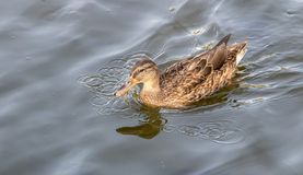 A beautiful duck swim in the lake.  royalty free stock image