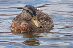 Beautiful duck swiming on the lake Stock Photos
