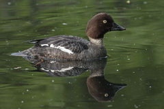 Beautiful duck swimming on the lake Royalty Free Stock Photography